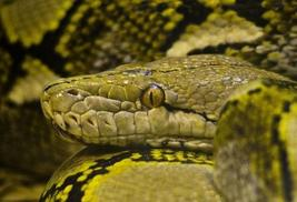 Reticulated python head