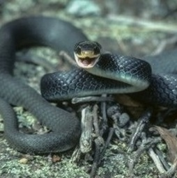deadliest water snake in the world
