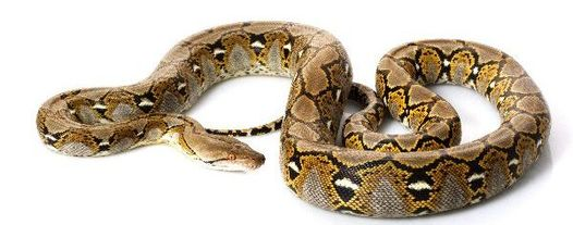 Reticulated python body