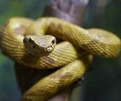 Golden Lancehead - Snake Facts