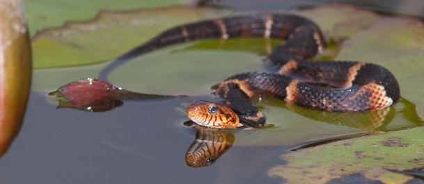Broad-banded water snake in water