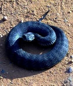 Common death adder.