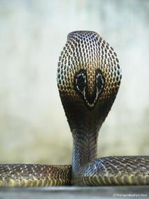 Indian cobra hood markings