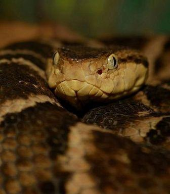 Jararaca - Snake Facts