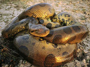 Green anaconda