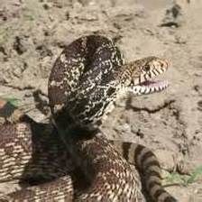 Bullsnake body