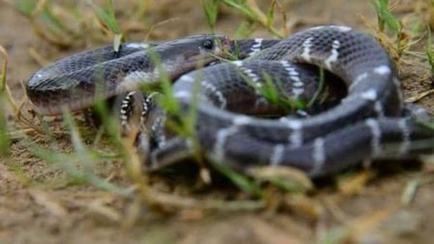 Common or indian Krait in the wild