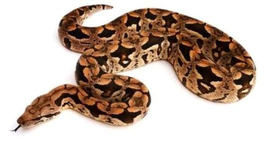 Dumeril's boa body