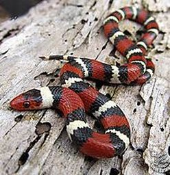 Image result for kingsnake