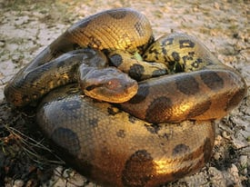 Green anaconda coiled