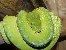 Green Tree Python coiled