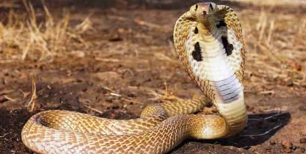 List of Poisonous Snakes in India – Einsty